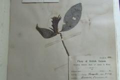 Aphelandra-pectinata-301