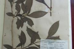 Aphelandra-pectinata-CAP-72