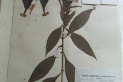 Aphelandra-pectinata-F-3378