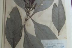 Aphelandra-tetragona-5863