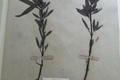 Hydrophila-sandwithii-2